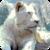 Beautiful White Lion Live Wallpaper icon