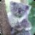 Quiet Koala Live Wallpaper app for free