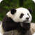Beautiful Panda Live Wallpaper HD app for free