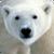 Beautiful Polar Bear Live Wallpaper HD app for free