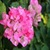 Bougainvillea Flowers Onet Classic Game icon