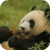 Panda Bear Live Wallpaper app for free