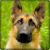 German Shepard Wallpapers app for free