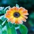 Calendula Flowers Onet Classic Game app for free