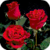 Magic Bouquet of Roses Live Wallpaper icon