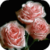 Blooming Pink Roses Final Live Wallpaper app for free