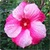 Hibiscus Flowers Onet Classic Game icon