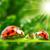 Ladybug Live Wallpapers app for free
