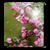 Pink Sakura Flow Bubbles HD icon