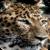 Leopard HD Live Wallpaper icon