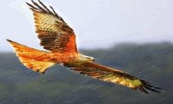 Eagle Flying LWP screenshot 2/3
