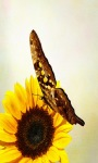 Sunflower Butterfly Live Wallpaper screenshot 1/3