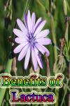 Benefits of Lactuca screenshot 1/3