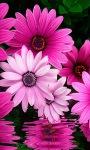Pink Flowers LWP screenshot 1/3