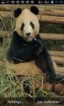 PANDA EATING AT ZOO LWP screenshot 1/3