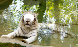 Lion And Tiger Photo Editor screenshot 6/6