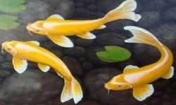 KOI Fish HD Live Wallpaper screenshot 1/6