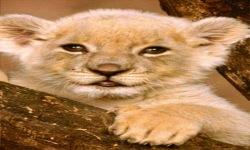 Lion Baby Live Wallpaper screenshot 2/3