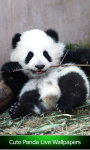 Cute Panda Live Wallpapers screenshot 1/6