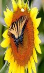 Sun flower trio wallpaper HD screenshot 1/3