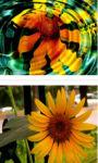 Sun flower trio wallpaper HD screenshot 2/3