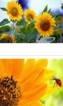 Sun flower trio wallpaper HD screenshot 3/3