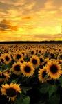 Sunflower Lwp screenshot 1/3