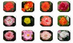 Begonia Flowers Onet Classic Game screenshot 3/3