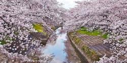 Sakura Flower 3D Wallpaper HD screenshot 4/6