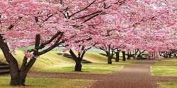 Sakura Flower 3D Wallpaper HD screenshot 6/6