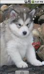 Alaskan Malamute Baby Live Wallpaper screenshot 1/4