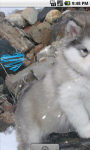 Alaskan Malamute Baby Live Wallpaper screenshot 2/4
