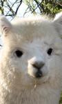 Alpaca Sheared Live Wallpaper screenshot 1/3