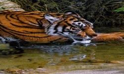 Thirsty Tiger Live Wallpaper screenshot 2/3