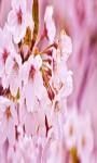 Sakura Live Wallpaper Cherry Blossom Photo Frame  screenshot 2/5