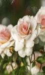 White Roses Lwp screenshot 3/3