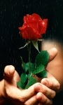 Rose For You Live Wallpaper screenshot 1/3