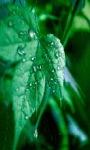 Rainy Leaf Live Wallpaper screenshot 1/3