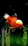 GOLDFISH UNDERWATER LWP screenshot 1/4