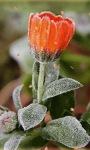 Ice Flower Live Wallpaper screenshot 1/3