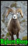 Bighorn Sheep screenshot 1/3