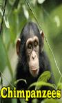 Chimpanzees screenshot 1/3