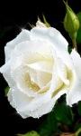 White Rose Shine LWP screenshot 2/3