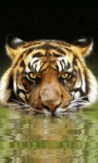 Tiger River Live Wallpape screenshot 2/3