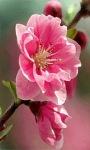 Pink Flower Swing Live Wallpaper screenshot 1/3