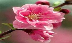 Pink Flower Swing Live Wallpaper screenshot 2/3