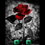Rose Wallpapers Background screenshot 2/3