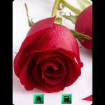 Rose Wallpapers Background screenshot 3/3