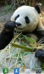 Adorable Pandas  Live Wallpaper screenshot 1/3