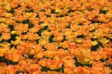 Beauty Tulip Flower Wallpaper screenshot 1/6